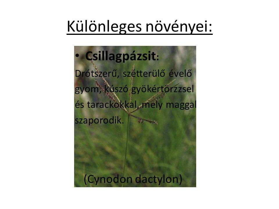Különleges növényei: Csillagpázsit : Drótszerű, szétterülő évelő gyom, kúszó gyökértörzzsel és tarackokkal, mely maggal szaporodik. (Cynodon dactylon)