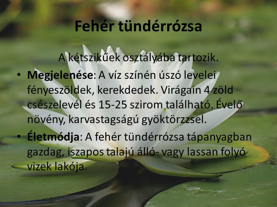 Fehér tündérrózsa A kétszikűek osztályába tartozik. Megjelenése: A víz színén úszó levelei fényeszöldek, kerekdedek. Virágain 4 zöld csészelevél és 15