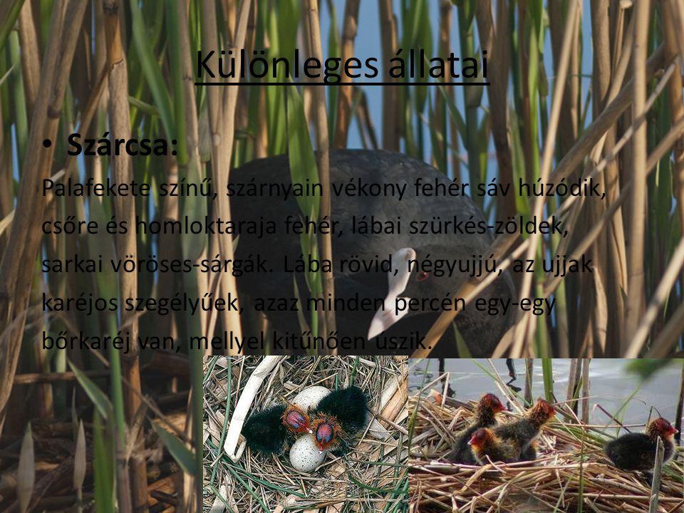 Különleges állatai Szárcsa: Palafekete színű, szárnyain vékony fehér sáv húzódik, csőre és homloktaraja fehér, lábai szürkés-zöldek, sarkai vöröses-sá
