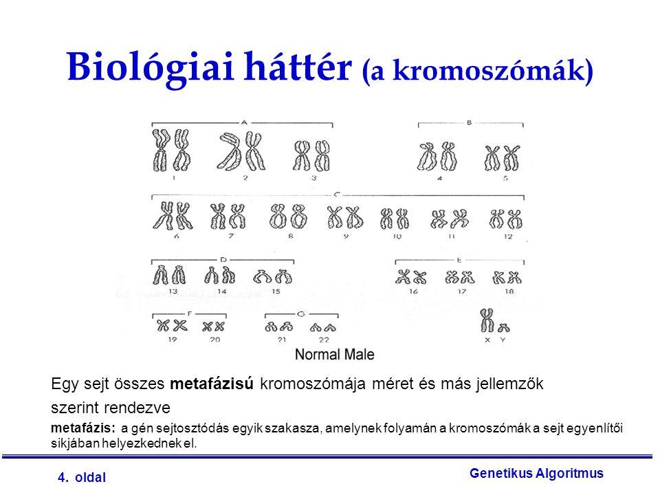 4. oldal Genetikus Algoritmus Biológiai háttér (a kromoszómák) Egy sejt összes metafázisú kromoszómája méret és más jellemzők szerint rendezve metafáz
