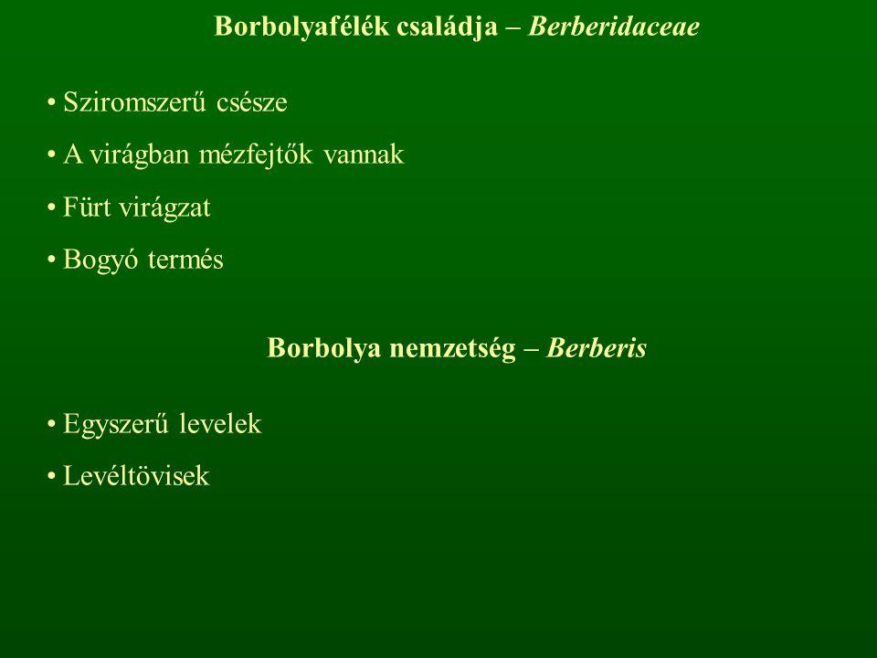 Borbolyafélék családja – Berberidaceae Sziromszerű csésze A virágban mézfejtők vannak Fürt virágzat Bogyó termés Borbolya nemzetség – Berberis Egyszer
