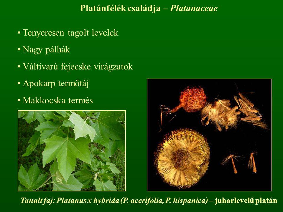 Platánfélék családja – Platanaceae Tenyeresen tagolt levelek Nagy pálhák Váltivarú fejecske virágzatok Apokarp termőtáj Makkocska termés Tanult faj: P