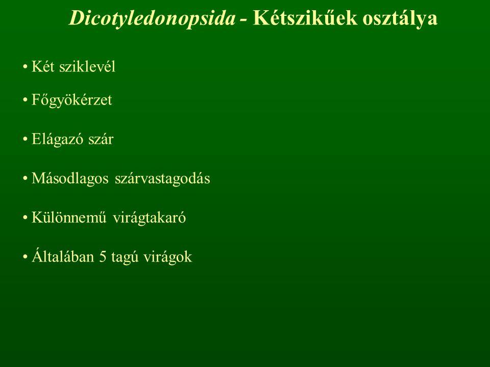 Dicotyledonopsida - Kétszikűek osztálya Két sziklevél Főgyökérzet Elágazó szár Másodlagos szárvastagodás Különnemű virágtakaró Általában 5 tagú virágo