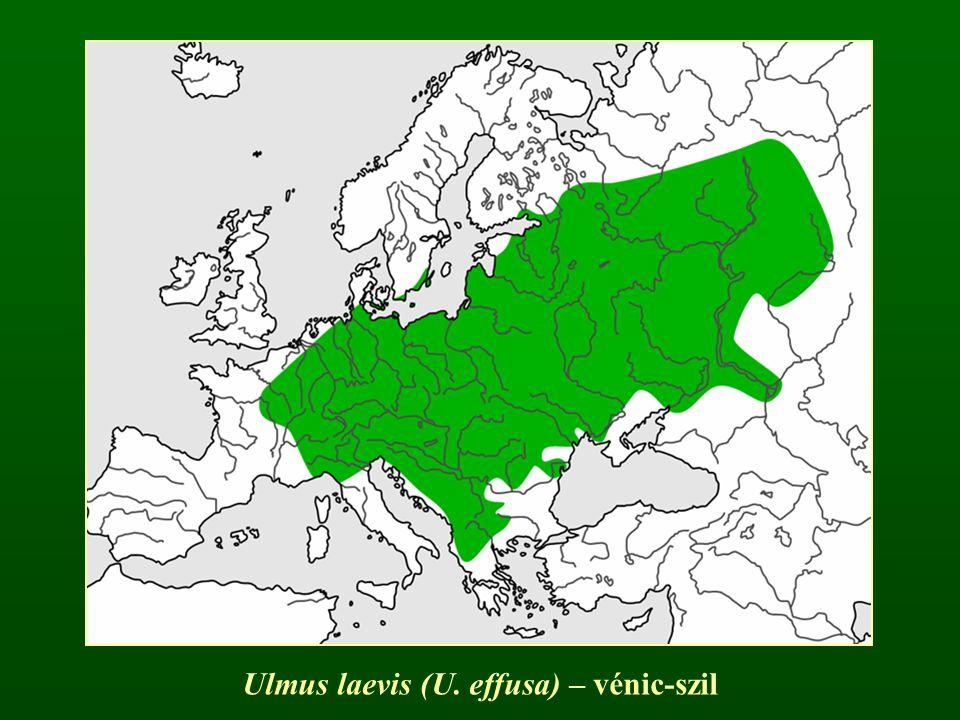 Ulmus laevis (U. effusa) – vénic-szil