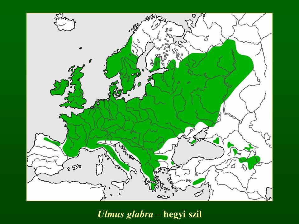 Ulmus glabra – hegyi szil