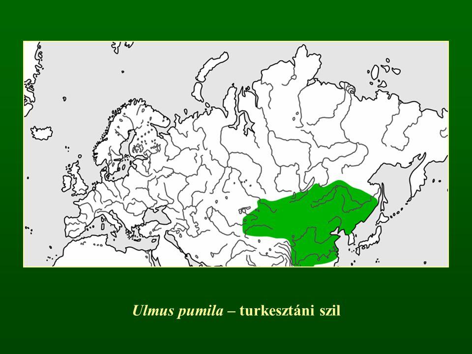 Ulmus pumila – turkesztáni szil