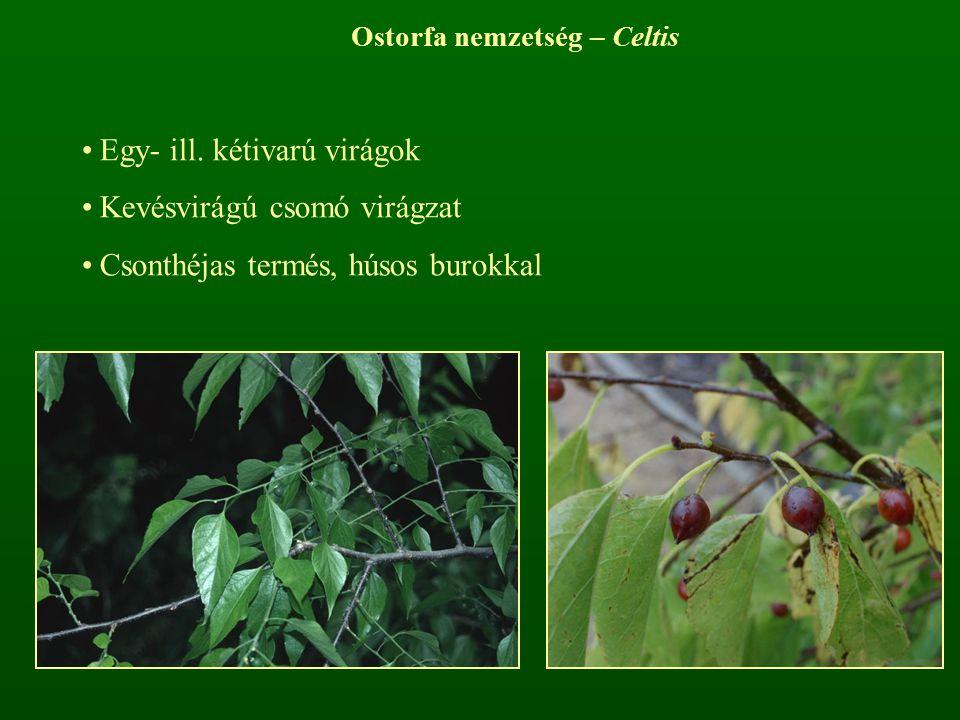 Ostorfa nemzetség – Celtis Egy- ill. kétivarú virágok Kevésvirágú csomó virágzat Csonthéjas termés, húsos burokkal