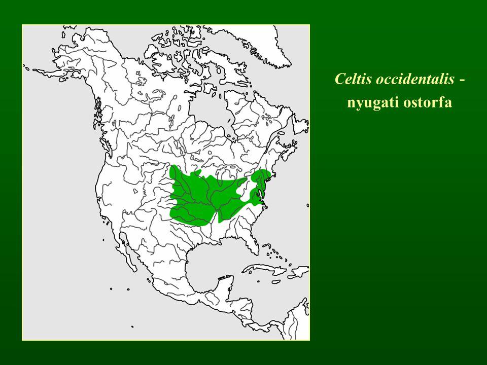 Celtis occidentalis - nyugati ostorfa