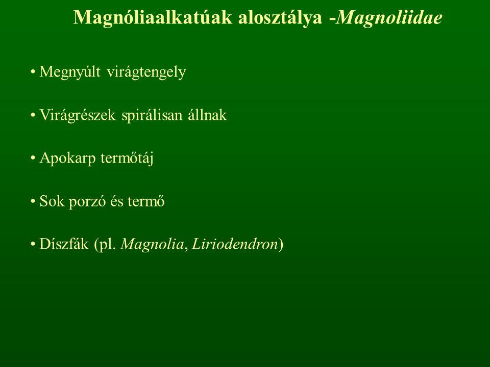Magnóliaalkatúak alosztálya -Magnoliidae Megnyúlt virágtengely Virágrészek spirálisan állnak Apokarp termőtáj Sok porzó és termő Díszfák (pl. Magnolia