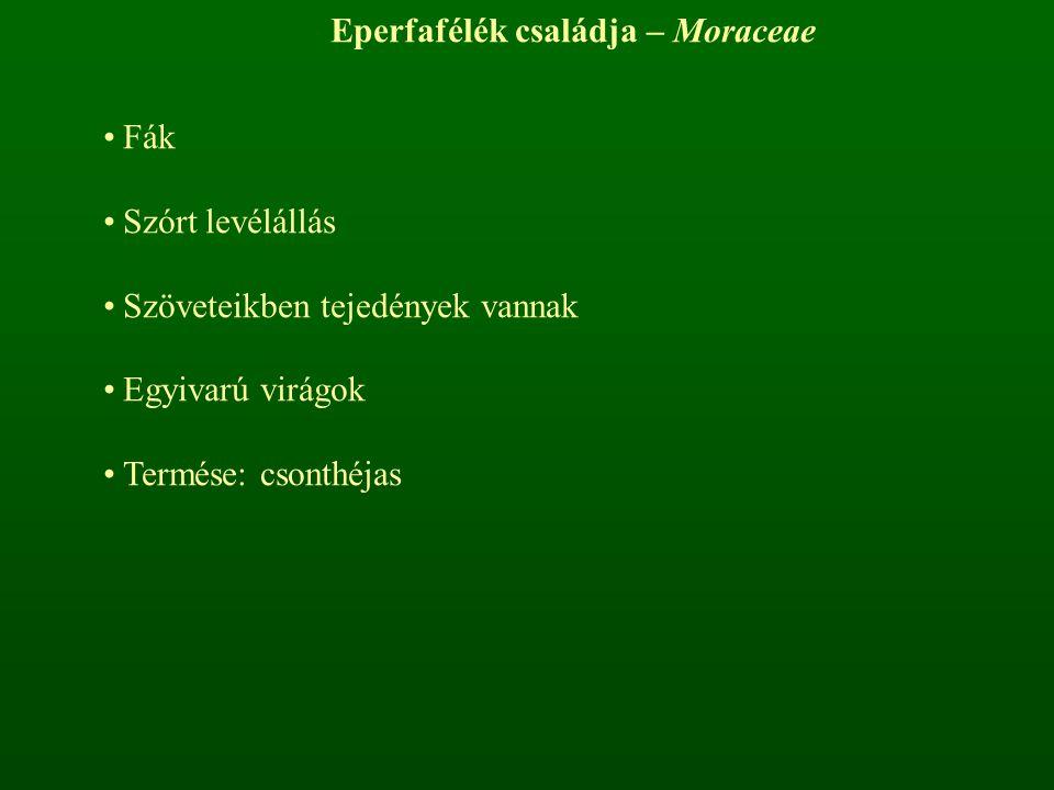 Eperfafélék családja – Moraceae Fák Szórt levélállás Szöveteikben tejedények vannak Egyivarú virágok Termése: csonthéjas