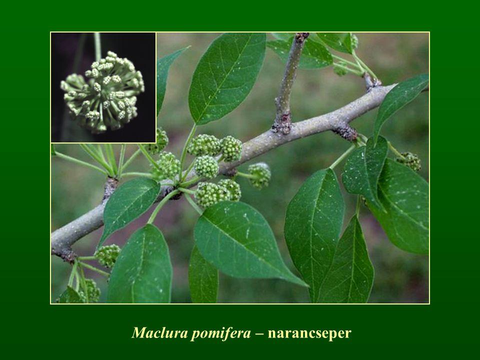 Maclura pomifera – narancseper