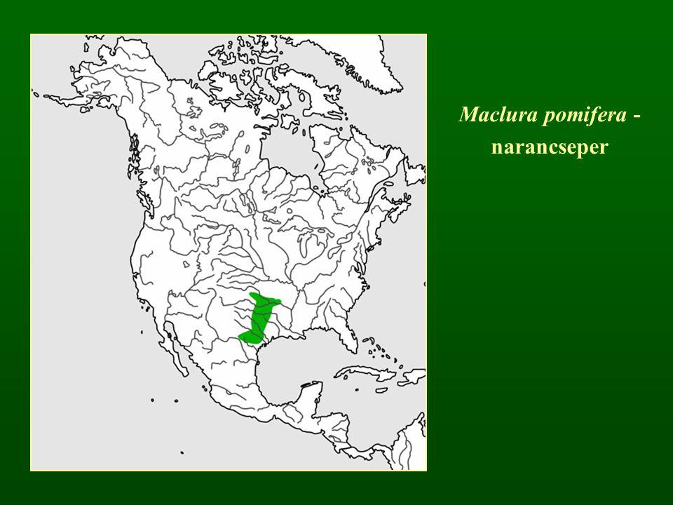 Maclura pomifera - narancseper