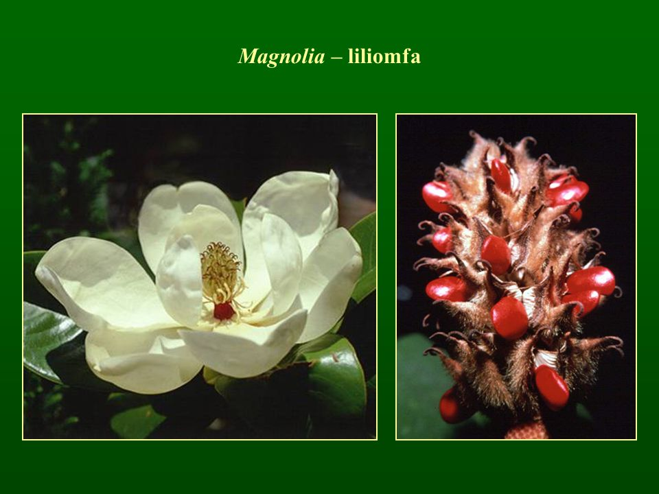 Magnolia – liliomfa
