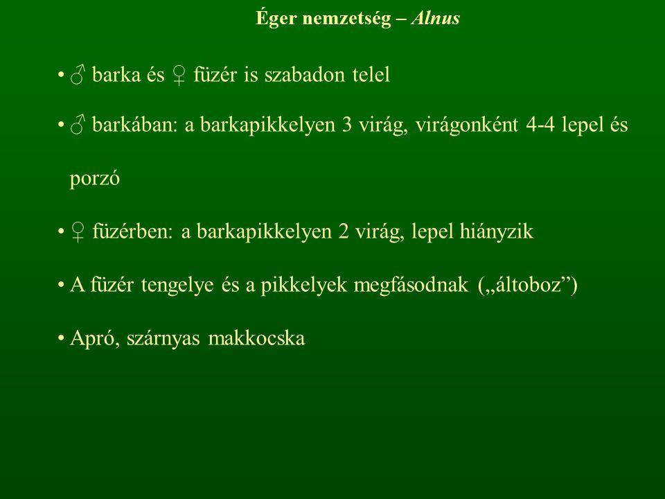 Éger nemzetség – Alnus ♂ barka és ♀ füzér is szabadon telel ♂ barkában: a barkapikkelyen 3 virág, virágonként 4-4 lepel és porzó ♀ füzérben: a barkapi