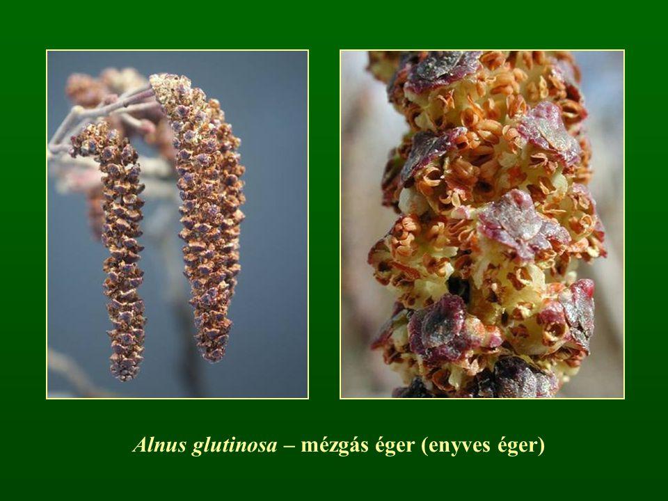 Alnus glutinosa – mézgás éger (enyves éger)