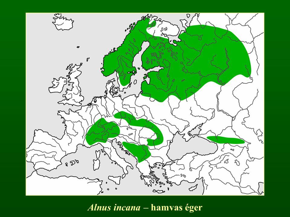 Alnus incana – hamvas éger