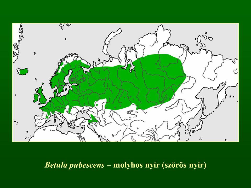 Betula pubescens – molyhos nyír (szőrös nyír)