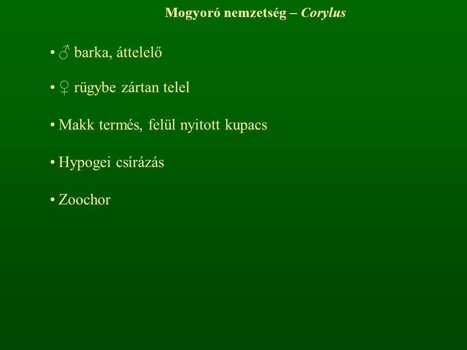 Mogyoró nemzetség – Corylus ♂ barka, áttelelő ♀ rügybe zártan telel Makk termés, felül nyitott kupacs Hypogei csírázás Zoochor