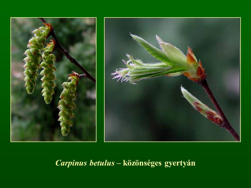 Carpinus betulus – közönséges gyertyán