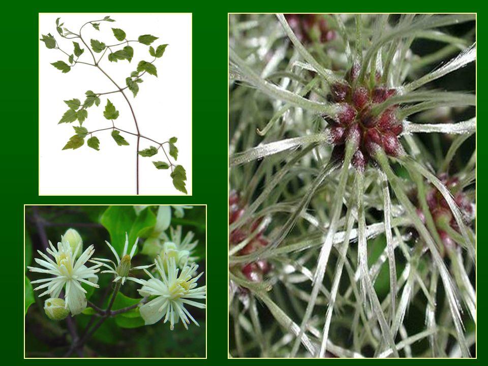 Alnus viridis – havasi éger (zöld éger)