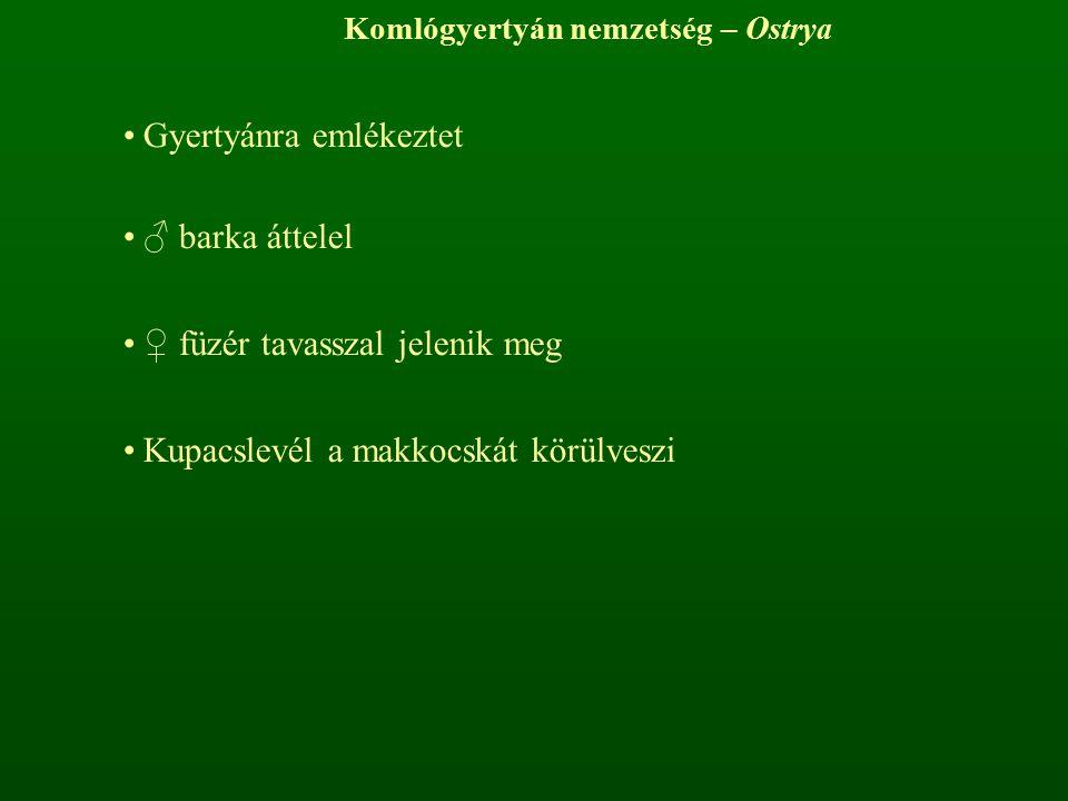 Komlógyertyán nemzetség – Ostrya Gyertyánra emlékeztet ♂ barka áttelel ♀ füzér tavasszal jelenik meg Kupacslevél a makkocskát körülveszi