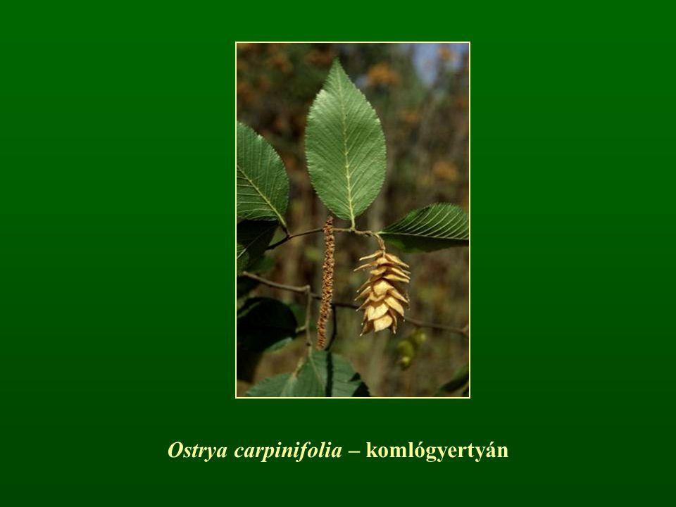 Ostrya carpinifolia – komlógyertyán