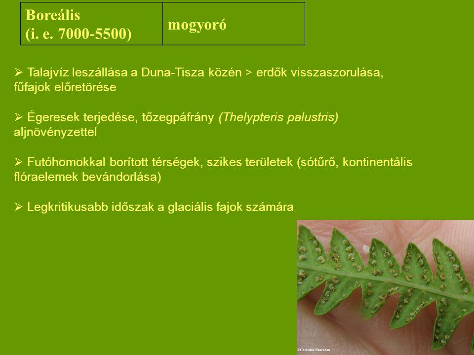 Boreális (i. e. 7000-5500) mogyoró  Talajvíz leszállása a Duna-Tisza közén > erdők visszaszorulása, fűfajok előretörése  Égeresek terjedése, tőzegpá
