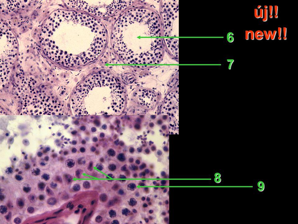 45 A metszet címe / Title of slide 45 A metszet címe / Title of slide 46 Melyik hormon hatására alakul ki.
