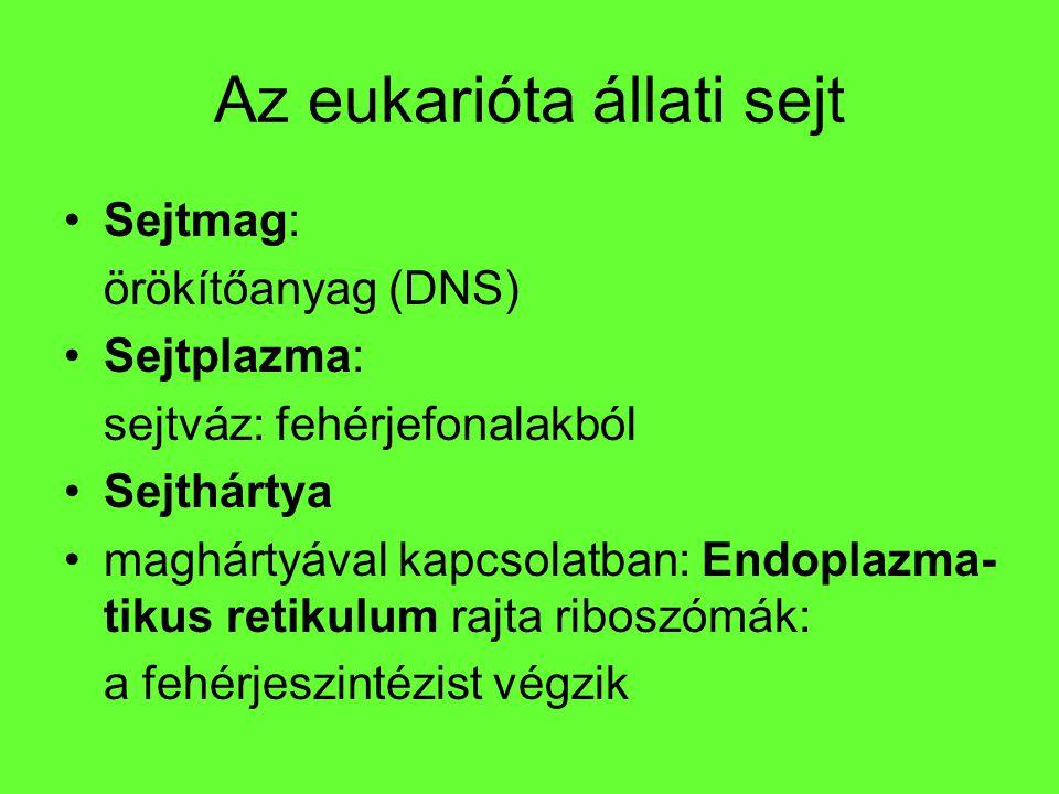 Az eukarióta állati sejt Sejtmag: örökítőanyag (DNS) Sejtplazma: sejtváz: fehérjefonalakból Sejthártya maghártyával kapcsolatban: Endoplazma- tikus re