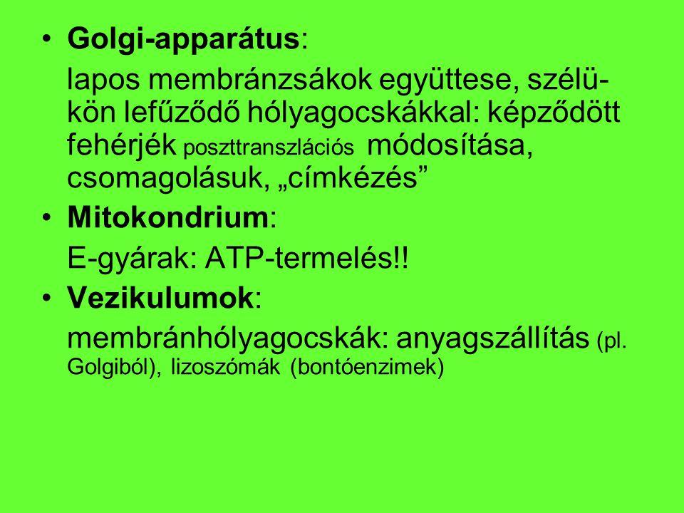 """Golgi-apparátus: lapos membránzsákok együttese, szélü- kön lefűződő hólyagocskákkal: képződött fehérjék poszttranszlációs módosítása, csomagolásuk, """"c"""