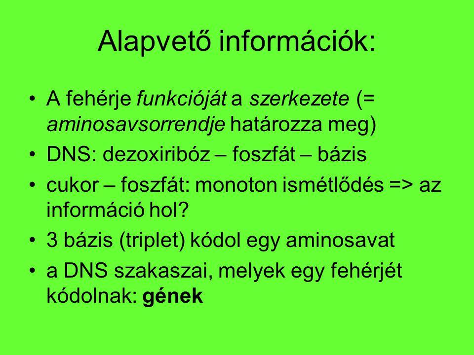 Alapvető információk: A fehérje funkcióját a szerkezete (= aminosavsorrendje határozza meg) DNS: dezoxiribóz – foszfát – bázis cukor – foszfát: monoto