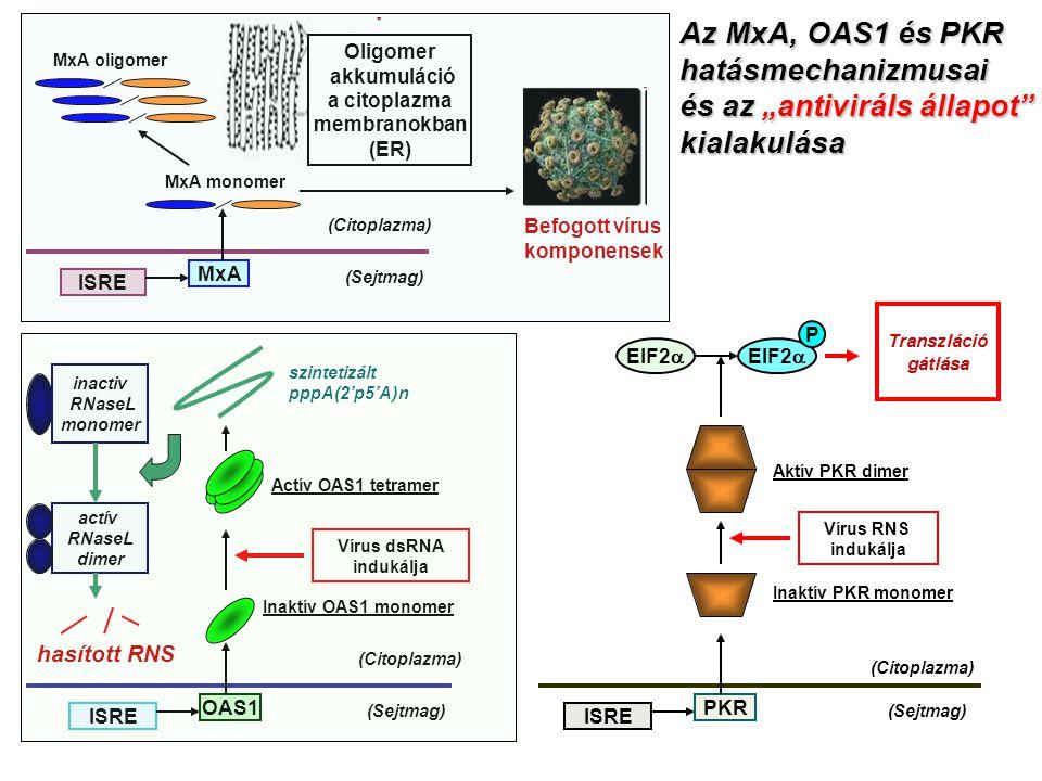 """Oligomer akkumuláció a citoplazma membranokban (ER) (Sejtmag) (Citoplazma) ISRE MxA MxA monomer MxA oligomer Befogott vírus komponensek (Sejtmag) (Citoplazma) ISRE OAS1 Inaktív OAS1 monomer Vírus dsRNA indukálja Actív OAS1 tetramer szintetizált pppA(2'p5'A)n inactiv RNaseL monomer actív RNaseL dimer hasított RNS (Sejtmag) (Citoplazma) ISRE PKR Inaktív PKR monomer Aktív PKR dimer Vírus RNS indukálja EIF2  P Transzláció gátlása Az MxA, OAS1 és PKR hatásmechanizmusai és az """"antiviráls állapot kialakulása"""