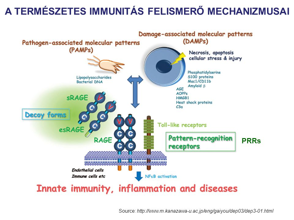 Máj C-reaktív protein (CRP) KOMPLEMENT Szérum Amyloid Protein (SAP) Mannóz/galaktóz kötés Kromatin, DNA, Influenza Fibrinogén Mannóz kötő lektin/protein MBL/MBP KOMPLEMENT IL- 6 AZ AKUT FÁZIS VÁLASZ Az IL-6 a májban akut fázis fehérjék termelését váltja ki