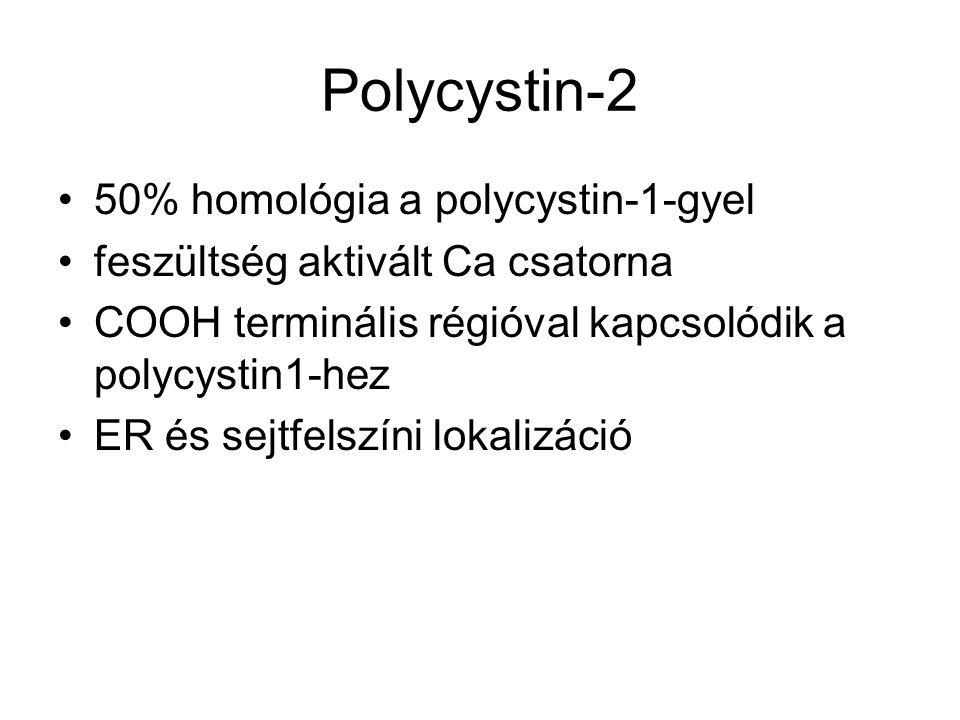 Polycystin-2 50% homológia a polycystin-1-gyel feszültség aktivált Ca csatorna COOH terminális régióval kapcsolódik a polycystin1-hez ER és sejtfelszí