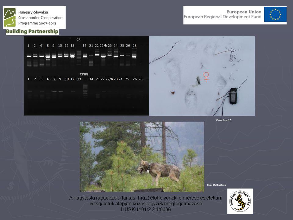A nagytestű ragadozók (farkas, hiúz) élőhelyének felmérése és élettani vizsgálatuk alapján közös jegyzék megfogalmazása HUSK/1101/2.2.1/0036 ♀ Fotók: Szabó Á.