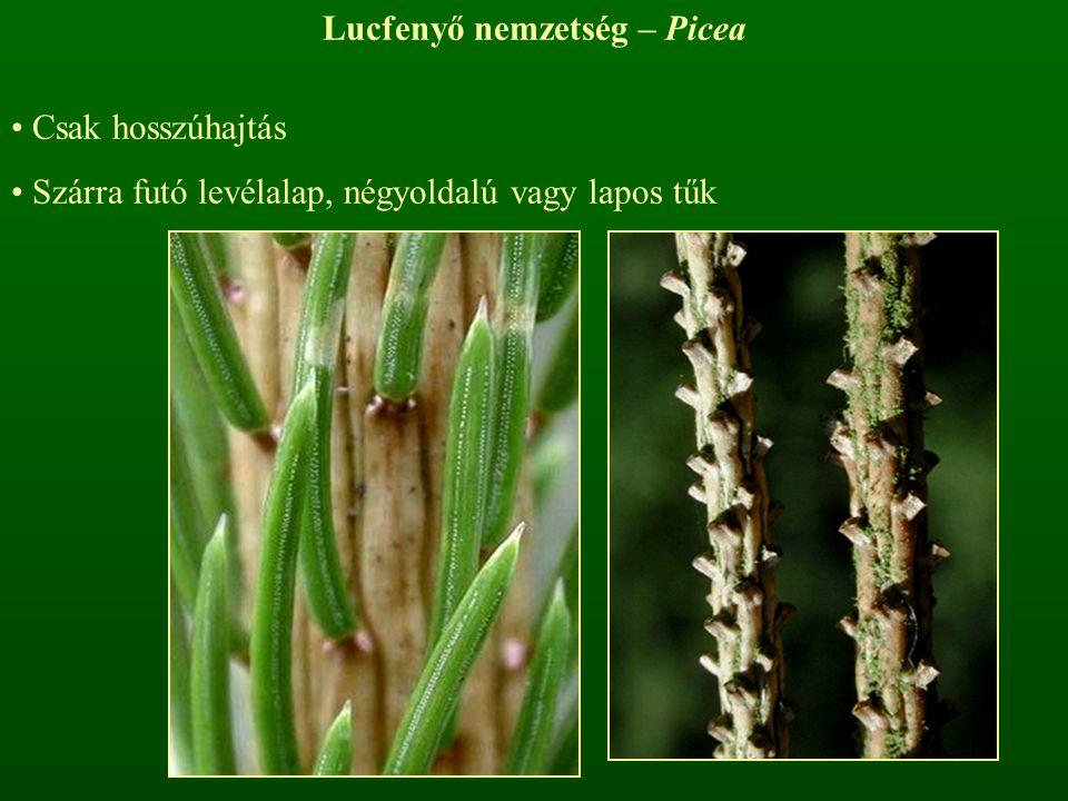 Lucfenyő nemzetség – Picea Csak hosszúhajtás Szárra futó levélalap, négyoldalú vagy lapos tűk