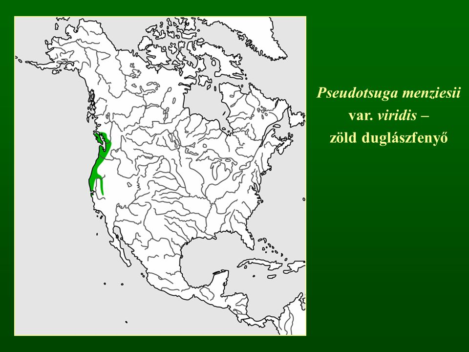 Pseudotsuga menziesii var. viridis – zöld duglászfenyő
