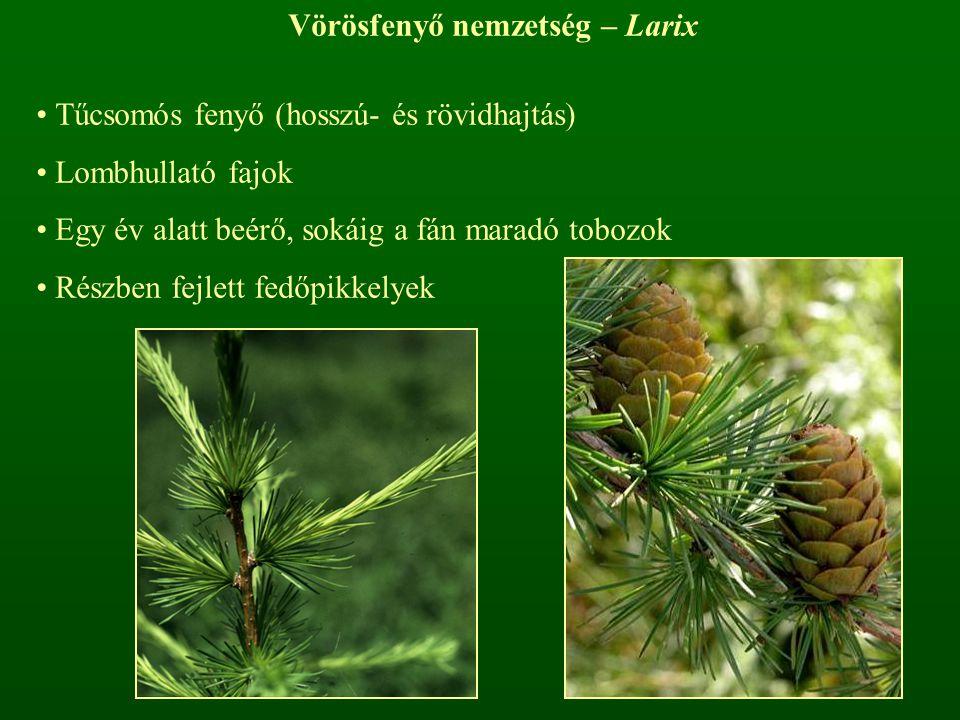 Vörösfenyő nemzetség – Larix Tűcsomós fenyő (hosszú- és rövidhajtás) Lombhullató fajok Egy év alatt beérő, sokáig a fán maradó tobozok Részben fejlett