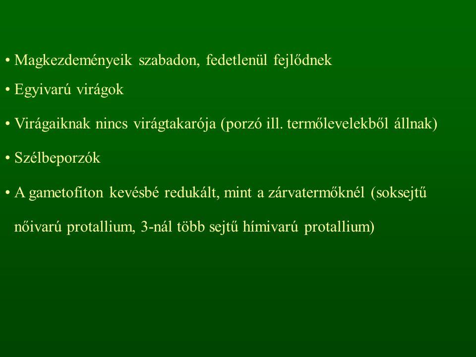 Csikófarkfélék családja – Ephedraceae Csikófark nemzetség – Ephedra Cserjeszerű növények, asszimiláló hajtások, pikkelyszerű levelekkel Kétlakiak A magvakat színes magköpeny (arillusz) borítja Tanult faj: Csikófark – Ephedra distachya