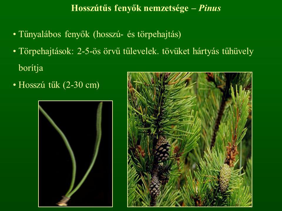 Hosszútűs fenyők nemzetsége – Pinus Tűnyalábos fenyők (hosszú- és törpehajtás) Törpehajtások: 2-5-ös örvű tűlevelek. tövüket hártyás tűhüvely borítja