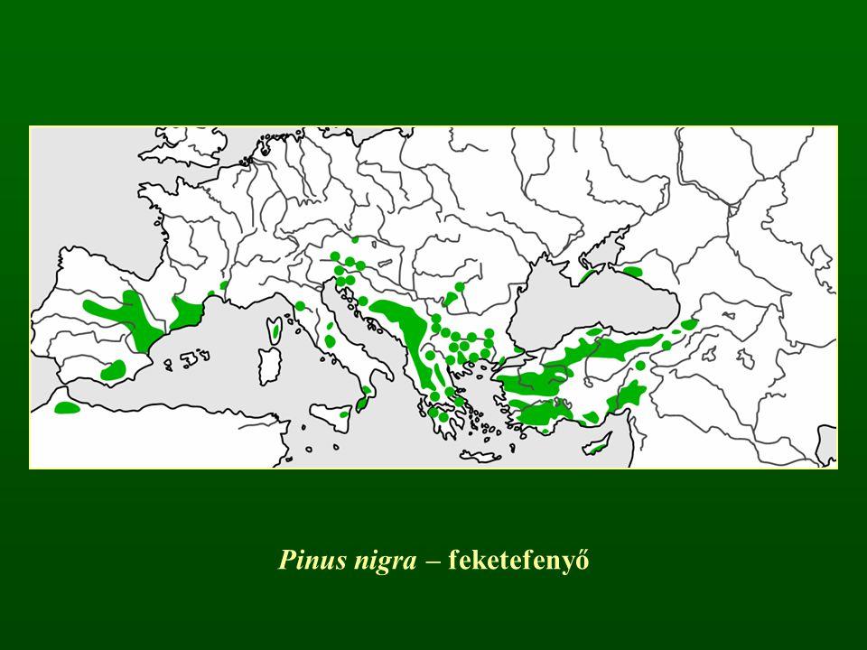 Pinus nigra – feketefenyő