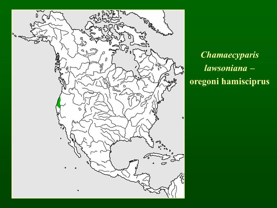 Chamaecyparis lawsoniana – oregoni hamisciprus
