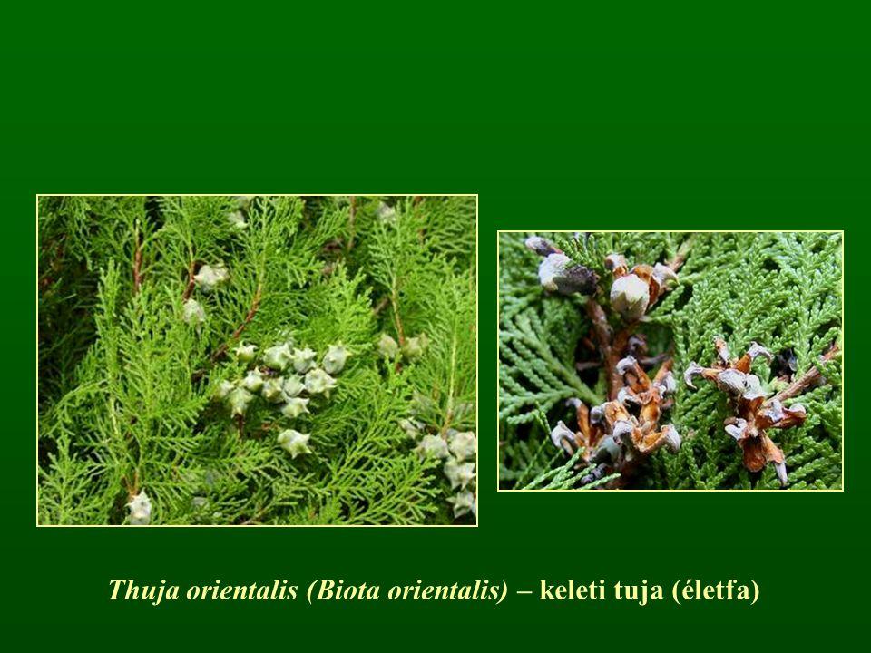 Thuja orientalis (Biota orientalis) – keleti tuja (életfa)