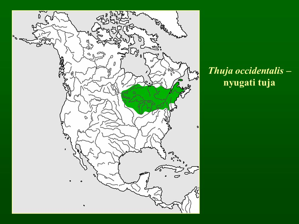 Thuja occidentalis – nyugati tuja