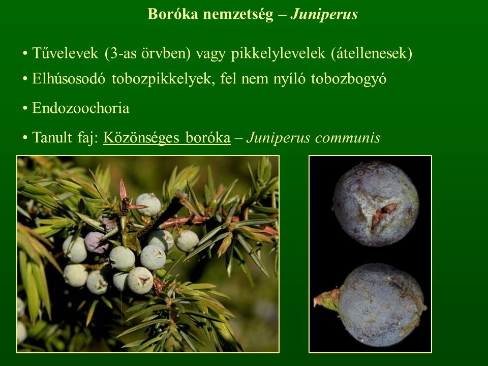 Boróka nemzetség – Juniperus Tűvelevek (3-as örvben) vagy pikkelylevelek (átellenesek) Elhúsosodó tobozpikkelyek, fel nem nyíló tobozbogyó Endozoochor