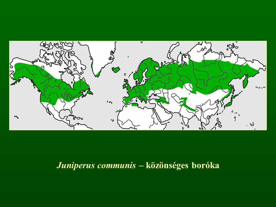 Juniperus communis – közönséges boróka