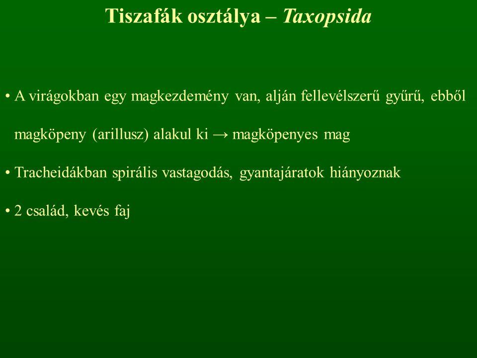 Tiszafák osztálya – Taxopsida A virágokban egy magkezdemény van, alján fellevélszerű gyűrű, ebből magköpeny (arillusz) alakul ki → magköpenyes mag Tra