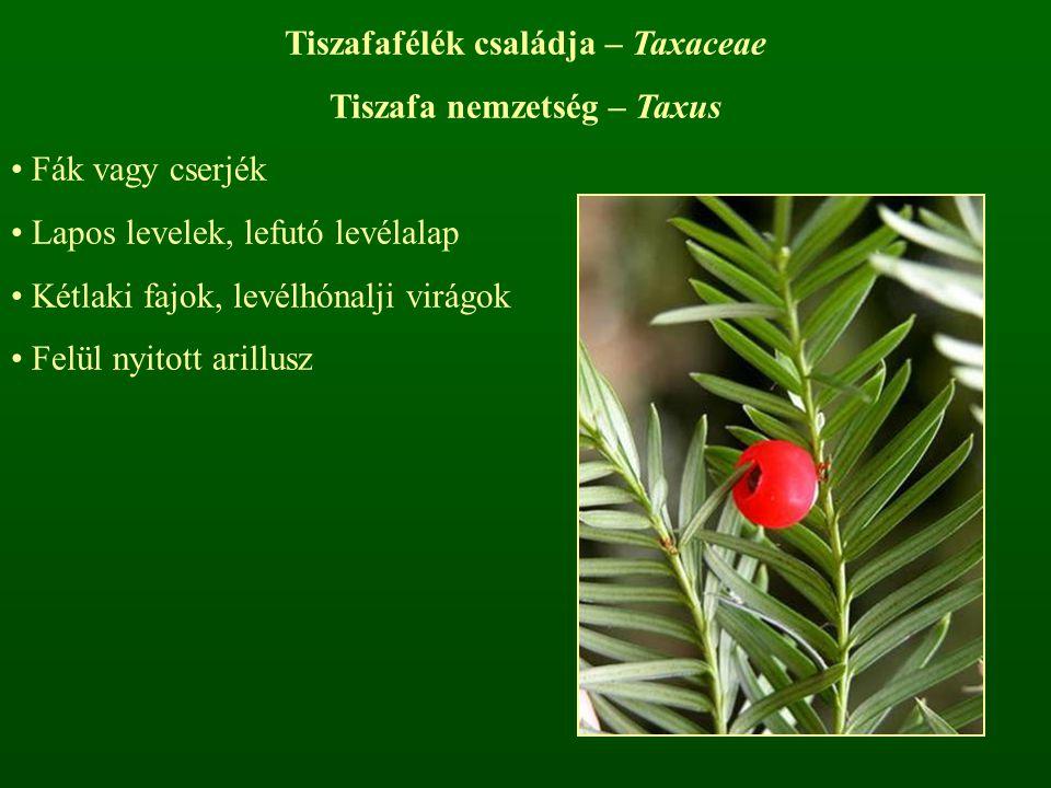 Tiszafafélék családja – Taxaceae Tiszafa nemzetség – Taxus Fák vagy cserjék Lapos levelek, lefutó levélalap Kétlaki fajok, levélhónalji virágok Felül