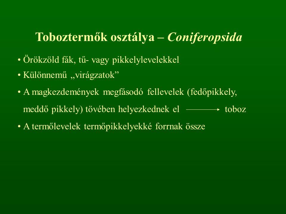 """Toboztermők osztálya – Coniferopsida Örökzöld fák, tű- vagy pikkelylevelekkel Különnemű """"virágzatok"""" A magkezdemények megfásodó fellevelek (fedőpikkel"""