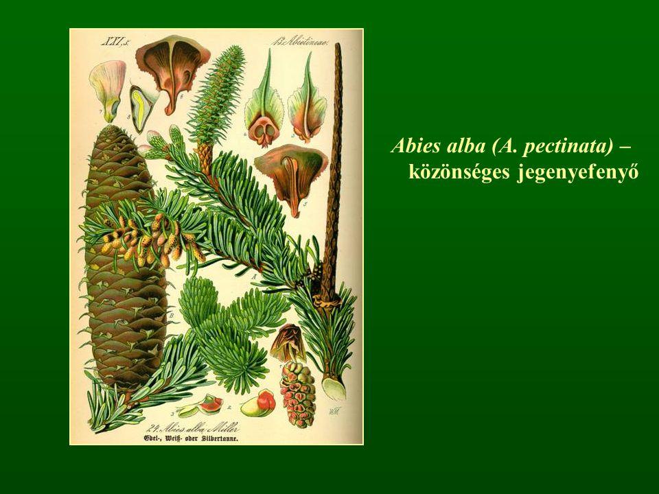 Vörösfenyő nemzetség – Larix Tűcsomós fenyő (hosszú- és rövidhajtás) Lombhullató fajok Egy év alatt beérő, sokáig a fán maradó tobozok Részben fejlett fedőpikkelyek